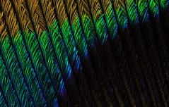 Peacock Feather (2) (Can Tunçer) Tags: can cantunçer cantuncer canon canon6d macro makro macros macrophotography micro mikro makros microscope microscop mitutoyo mitu5x stack stacking studio setup stand tunçer turkiye turkey türkiye tuncer izmir ikea insects jansö jansjö texture pattern