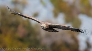 Griffon Vulture head on - (Gyps fulvus) Best viewed large