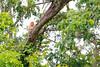 長鼻猴 (游青峰 Daniel) Tags: sabah canon6d canon 沙巴 沙巴之旅 北婆羅洲 kawakawa 長鼻猴