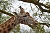 Pairi Daiza 2017 (viirginied1) Tags: animaux animals chevreuil méduse singes pandaroux flamantrose tigreblanc girafe koala panda