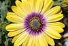 African Daisy (crafty1tutu (Ann)) Tags: flower macro africandaisy garden mygarden inmygarden colourful crafty1tutu canon7dmkii canon60mm28efsmacrolens anncameron bright naturethroughthelens naturescarousel coth coth5 sunrays5
