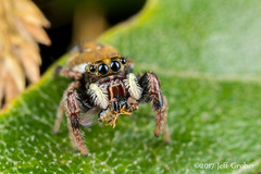 Jumping Spider with prey (jgruber111) Tags: salticidae arachnida spider macro entomology jumpingspider