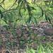 Swamp Quail Pair in Native Garden – Red Moon Sanctuary, Redmond, Western Australia