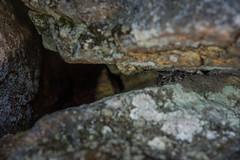 YOY timber rattlesnake (mperez171) Tags: timber rattlesnake crotalus horridus venomous ny snake reptile
