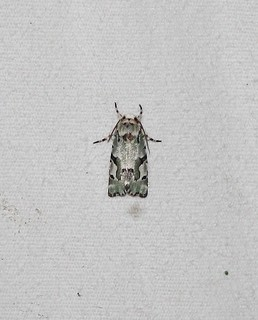 9718 Emarginea percara, Beloved Emarginea Moth