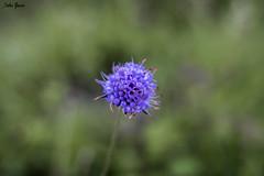Wild bokeh (Jotha Garcia) Tags: flower plant macro bokeh yongnuo35mmf2n lavidaen35mm nikond3200 jothagarcia 2017 septiembre september verano summer