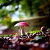 Autumn (Wouter van Wijngaarden) Tags: vliegenzwam dutch nederland holland mushroom amanitamuscaria paddestoel paddestoelen groeneveld baarn thenetherlands woutervanwijngaarden canon 600d eos autumn wout herfst mushrooms rood witte stippen fliegenpilz