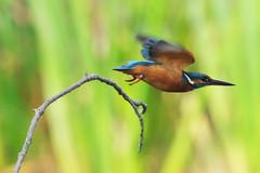 IMGP6132c Kingfisher, Lackford Lakes, September 2017 (bobchappell55) Tags: wild bird wildlife nature kingfisher lackfordlakes suffolk alcedo atthis