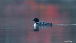 Common Loon - seasonal reflections