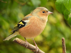 Chaffinch - watching! (macfudge1UK) Tags: ©allrightsreserved 2017 autumn avian bbcspringwatch bird branch britain britishbird britishbirds bush chaffinch coolpix coolpixp610 england fauna finch fringillacoelebs gb greatbritain nature nikon nikoncoolpixp610 oxfordshire oxon p610 perch perching rspbgreenstatus uk wildlife