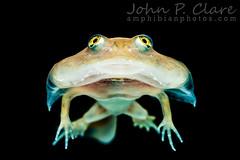 Budgett's Frog tadpole (Lepidobatrachus laevis) (John P Clare) Tags: budgettsfrog ceratophryidae lepidobatrachuslaevis leptodactylidae pacmanfrog amphibian freedykrugerfrog jellyfish larva ray tadpole toad