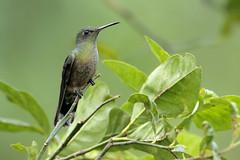 Scaly-breasted Hummingbird (Greg Lavaty Photography) Tags: scalybreastedhummingbird phaeochroacuvierii costarica october alajuela tropical tropics neotropical photographytour birdphotography outdoors bird nature wildlife