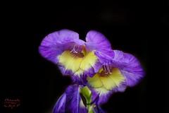 Iris (Jurek.P) Tags: flowers flower irys iris closeup jurekp sonya77 garden plants