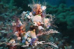 Lots of life on a branch (sarah.handebeaux) Tags: raja ampat indonesia diving reef