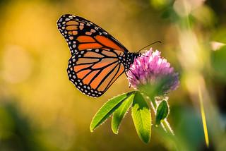 Finally, a Monarch