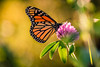 Finally, a Monarch (Nicholas Erwin) Tags: nature insect naturephotography bokeh depthoffield dof butterfly monarch monarchbutterfly redclover plant bug nikon d610 nikkor 70200f4vr hamptonbeach hampton newhampshire nh unitedstatesofamerica usa america flower goldenhour golden fav10 fav25 fav50