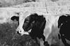 Stier (Greyframe) Tags: weide green grass cow kuh rind stier stallion vieh greyframe germany schwarzweiss blackandwhite monochrome blackwhite white deutschland black grey bw blwh schwarz weiss schwarzweis feld bull holsteiner auge