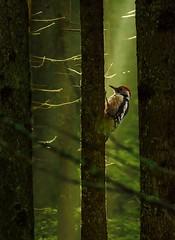 early in the morning (hardy-gjK) Tags: birds oiseaux vögel mittelspecht woodpecker pivert hardy nikon nature forest wald forêt licht light lumière natur