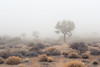 Early Morning, Joshua Tree National Park (Kevin VanEmburgh Photography) Tags: adventure kevinvanemburghphotography nikon photoproject travel california ca joshuatreenationalpark joshuatree desert travelphotography tree fog haze camping californiadesert