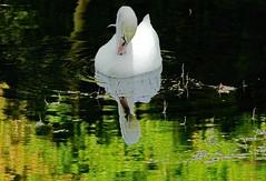 Swan (Jurek.P) Tags: swan łabędź birds bird ptaki ptak woda kępapotocka warsaw warszawa jurekp sonya77