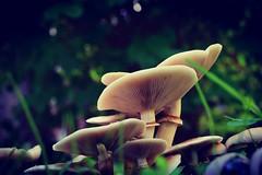 2017-10-24_10-13-07 (Alquimista indecente) Tags: nikond5300 mushroom autumm setas d5300 nikon macro micro 40mm nikkorafs40mmf28g