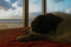 galli cadzand6 (cdandrifosse) Tags: galli saint bernard mer cadzand chien