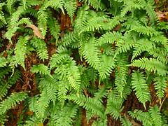 Polypodium vulgare (Jörg Paul Kaspari) Tags: dieliesertaltour wanderung herbst autumn fall eifel vulkaneifel polypodiumvulgare tüpfelfarn farn fern
