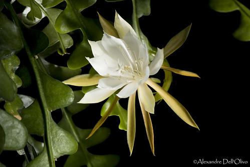 Epiphyllum anguliger_DSC4744