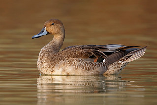 Northern pintail a