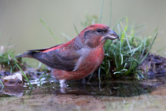 Crossbill (Simon Stobart) Tags: crossbill male loxia curvirostra bathing water spain drinking grass ngc npc