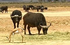 Cape Buffalo (jglsongs) Tags: wildlife gamereserve africa africanwildlife inverdoorn inverdoorngamereserve capebuffalo buffalo