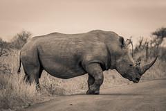 Rhino bull (Andre B Liebenberg) Tags: rhino bull rhinoceros white wildlife wildlifephotography animal outdoors nature africa big five big5 safari conservation blackandwhite monochrome