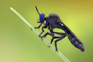 Dioctria robberfly