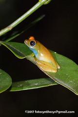 Green Bright-eyed Frog (Boophis viridis) DSC_2944 (fotosynthesys) Tags: greenbrighteyedfrog boophisviridis mantellidae frog amphibian madagascar
