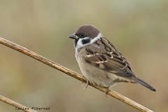 Pardal xarrec, Gorrión molinero, Tree Sparrow (Passer montanus) (Carles Pibernat) Tags: