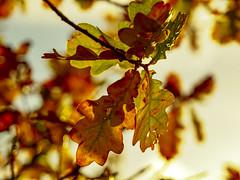 Herbstgold (lothar_odendahl) Tags: e5 eifel autumn herbst highkey schärfentiefe bokeh laub leaf blätter oak eiche