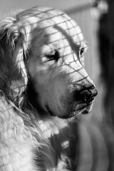 ☀️ (AloysiaVanTodd) Tags: bnw blackandwhite sombre soul portrait poetry sensitivity dog goldenretriever animal natural sun light nature life shades shadows
