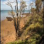 Erosion at Red Cliffs of Scarborough is killing the trees= thumbnail