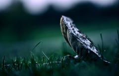 Genauso wenig, wie ich dem Pfarrer, vor dessen Kirche ich lag, die Pilze angeboten hab. Irgendwo endet schließlich sogar meine Religionsabneigung. (Manuela Salzinger) Tags: herbst autumn abend evening sonneuntergang sunset