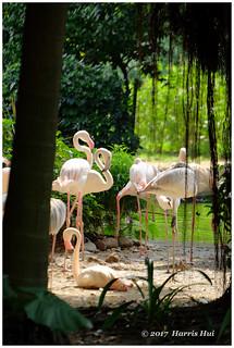 Flamingos In Kowloon Park - Hong Kong XT5047e
