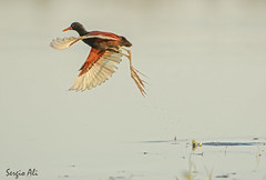 Jacana (Jacana jacana) (Sergio Ali - Naturaleza en imágenes) Tags: jacana ave birds nature naturaleza water agua santafe argentina wild
