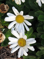 Pair Of Daisies. (dccradio) Tags: lumberton nc northcarolina robesoncounty outdoors outside nature natural morning goodmorning nikon coolpix l340 bridgecamera flower flowers floral flowerbed flowergarden plant daisy daisies leaf leaves greenery foliage
