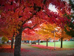Fall Colours .... Explore (CanMan90) Tags: fall liquidambar trees workplace university uvic victoria britishcolumbia studenthousing october 2017 pointshoot canon sd1200is work cans2s