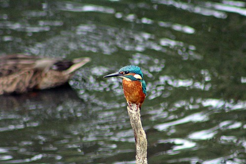 Common Kingfisher (Alcedo atthis) - Seaton Wetlands, Seaton, Devon - Auig 2017