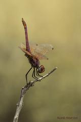 Trithemis annulata (Palisot de Beauvois, 1807) (Ricardo Menor) Tags: odonatos obelisco anisópteros macho male villena 2016 iluminaciónnatural naturallighting dragonfly dragonflies trithemisannulata elcoto elcoto2016