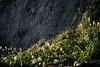 hard and soft (N.sino) Tags: m9 summilux50mm rock plant cliff kamakura ススキ 断崖 稲村ガ崎 鎌倉 岩