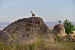 African Safari. On guard. (Lena and Igor) Tags: safari travel africa serengeti tanzania nationalpark antelopes rocks guard nature grass animals dslr fx nikon d810 sigma 150600 contemporary