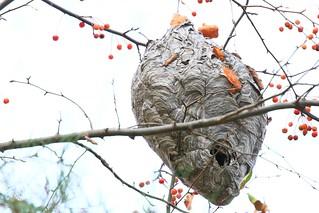 bald-faced hornet nest at Lake Meyer Park IA 854A4126