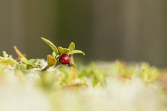 lonely lingonberry (VisitLakeland) Tags: forest nature finland autumn lingonberry berry red puolukka