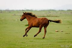 Running Free (PB1_0082) (Param-Roving-Photog) Tags: horse running galloping free grassland lakebed chestnut pong lake dam himachal travel photography nikon